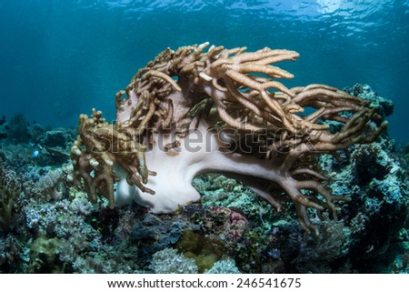 A soft coral is blown by a strong current on a reef in Indonesia. This region is part of the Coral Triangle and contains more marine life than anywhere else on Earth. - stock photo