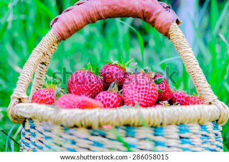 A soft focus on a basket of fresh organic strawberries. These strawberries are handpicked from an organic farm in Puyallup, Washington State, US.  - stock photo
