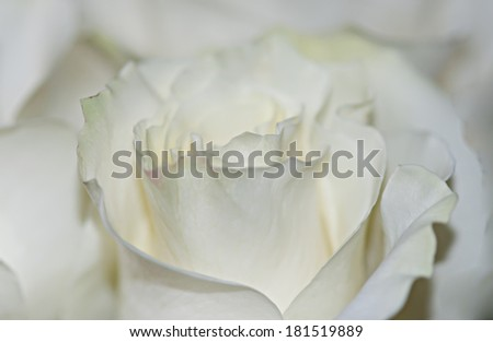 A soft tea rose - stock photo