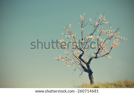 a solitary almond blossom - stock photo