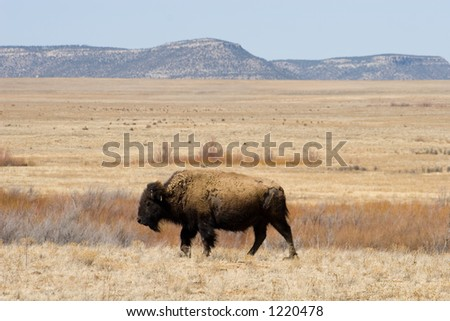 A solitary bison (American buffalo) on the plains of northern New Mexico - horizontal orientation