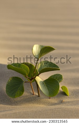 A solitary fresh sprout thriving on a sand dune - stock photo