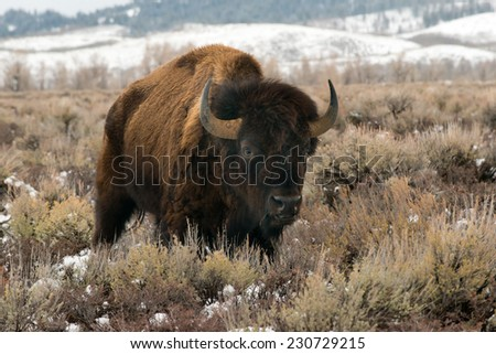 A solo aging bison stands in a field looking at photographer, Teton National Park
