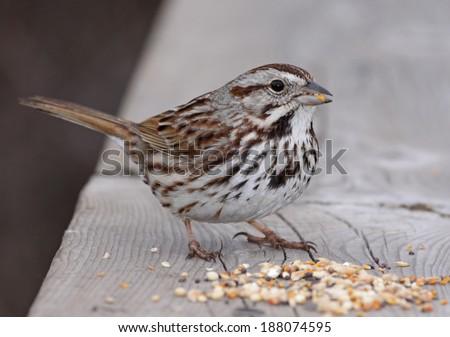 A Song Sparrow (Melospiza melodia) eating at a bird feeder. Shot in Cambridge, Ontario, Canada.  - stock photo