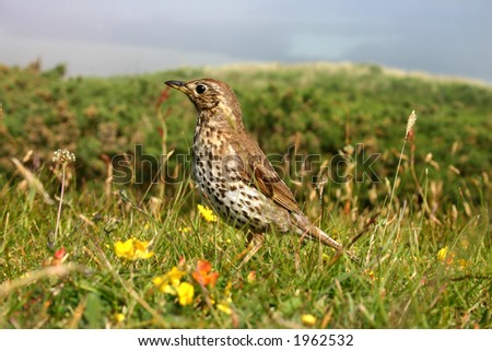 A song thrush, Isles of Scilly, UK
