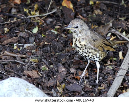 A song-thrush,  (Turdus philomelos) at home in its natural habitat - stock photo