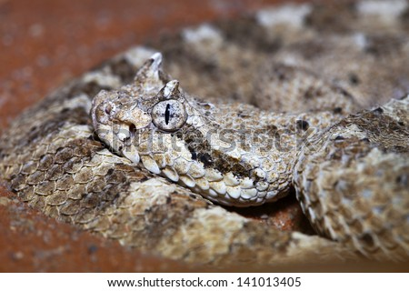 A Sonoran Desert Sidewinder Rattlesnake (Crotalus cerastes cercobombus) hiding and camouflaging in sand in Arizona, USA. They ambush prey by lying low in the desert like this. - stock photo
