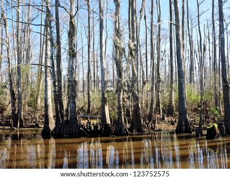 A South Louisiana Cypress Swamp - stock photo