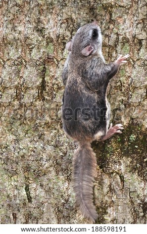 A Southern Flying Squirrel (Glaucomys volans) on the trunk of a woodland poplar tree. - stock photo