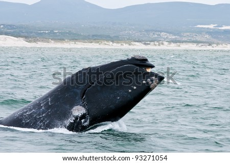 A Southern Right Whale breaching just off the coast of Hermanus in South Africa. - stock photo