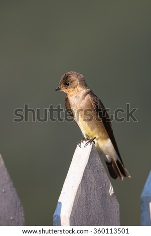 A Southern rough winged Swallow (Stelgidopteryx ruficollis) perched on a painted wooden fence against a blurred plain background, Brazil
