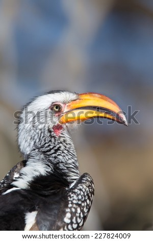 A Southern yellow-billed hornbill (Tockus leucomelas) close up,  against a blurred natural background, South Africa - stock photo