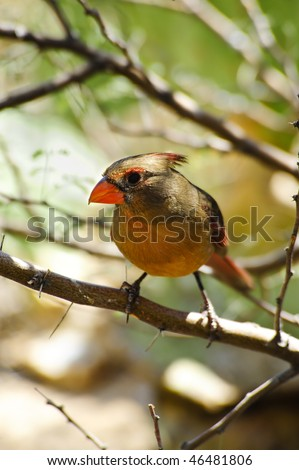 A southwestern Pyrrhulox, related to the Northern Cardinal - stock photo