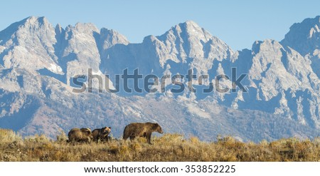 a sow grizzly bear mother leads two cubs along a ridge in front of a dramatic mountain range - stock photo