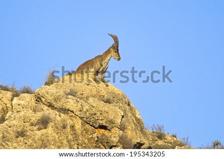 A Spanish (Iberian) Ibex or Wild Goat (Capra pyrenaica) stood on top of a cliff, Andalusia, Spain - stock photo