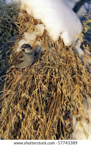 A sparrow in an oat sheaf with snow - stock photo