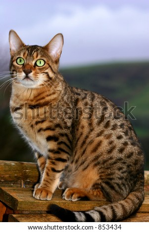 A special breed Bengal kitten sitting on top of a bird box.