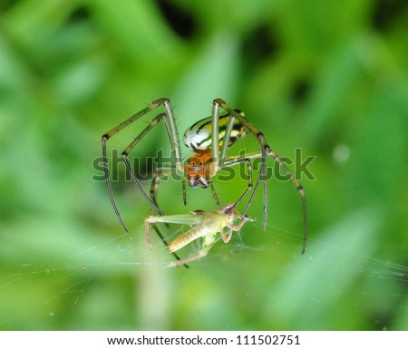 A species of an orb weaver preying on a little grasshopper - stock photo
