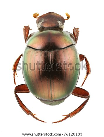 A species of Canthon isolated on a white background. - stock photo