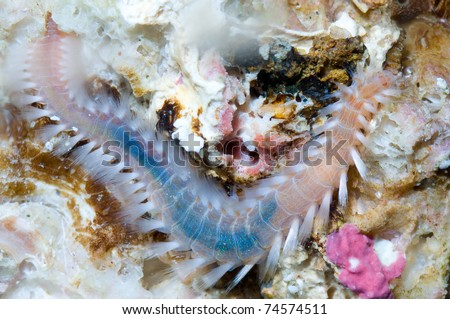 A species of marinie bristle worm resting on a rock - stock photo