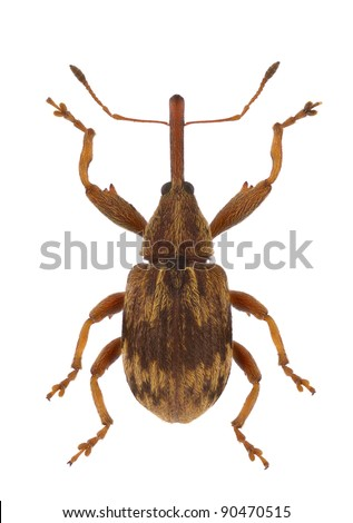 A specimen of Anthonomus rectirostris, weevil, isolated on a white background - stock photo