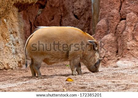 A specimen of red river hog, Potamochoerus porcus pictus - stock photo