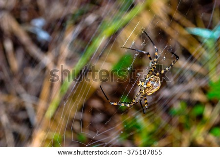A spider,  Argiope bruennichi,  of considerable size and threatening aspect - stock photo