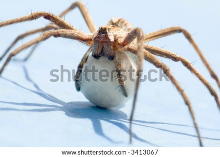 A spider with an egg sack. Back lite. Close up view. - stock photo