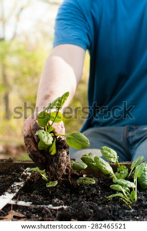 A spinach seedling is being placed into the ground of a square foot garden lattice by a man, who is only shown from the chest down.   He wears jeans and a t-shirt.  Selective focus is on the plants.
