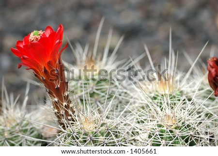 A spiny cactus erupts with a brilliant red bloom. - stock photo