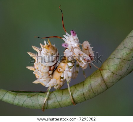 A spiny flower mantis is sitting on a rolled leaf. - stock photo