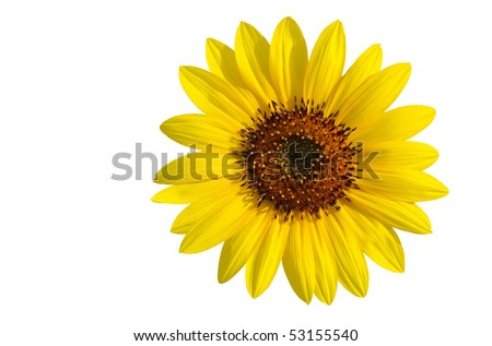 A splendid yellow sunflower isolated on white - stock photo