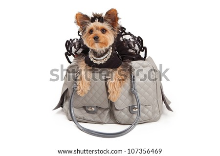A spoiled Yorkshire Terrier Dog wearing a black tutu and rhinestone necklaces that is sitting in a gray luxury travel carrier. Isolated against a white backdrop - stock photo