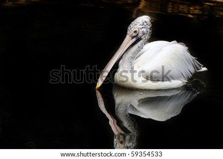 A spot billed pelican ducking to catch fish - stock photo