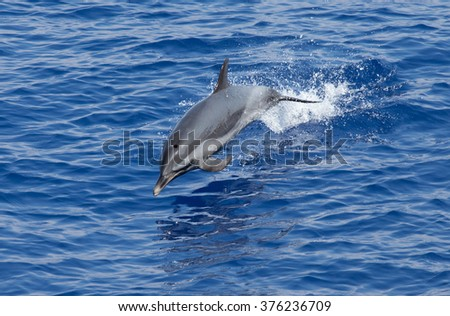 A spotted dolphin leaping out of the water caught mid jump - stock photo