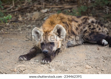 A spotted hyena, Crocuta crocuta, resting in the dirt in the Kruger National Park, South Africa. - stock photo