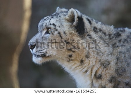 A spotted wild feline starring off into the distance. - stock photo