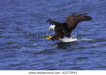a spread winged bald eagle attacks a fish swimming in the open water - stock photo