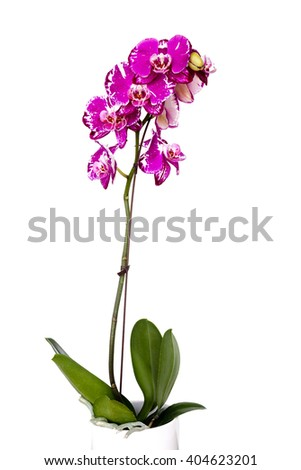 A sprig of blooming pink orchids in a pot isolated on white background. - stock photo