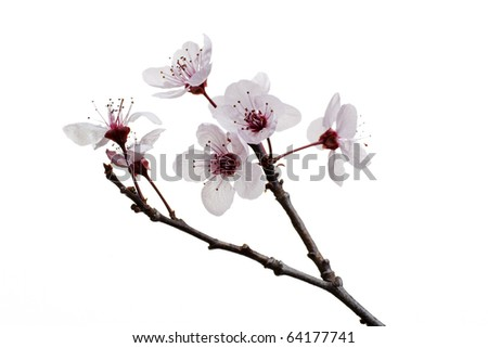 A sprig of cherry blossom, isolated - stock photo