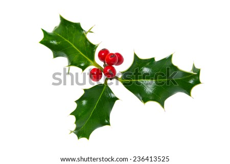 A sprig of Holly (Ilex) with red berries isolated on a white background. - stock photo