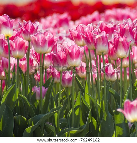A spring field with pink tulips in the Netherlands - stock photo