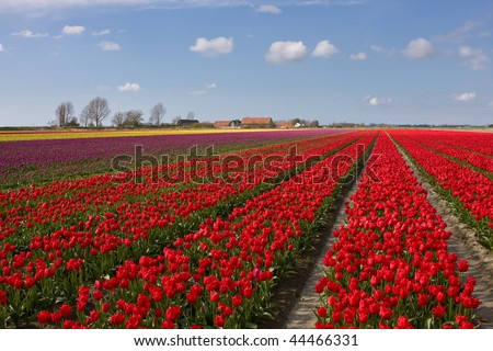 A spring field with red tulips somewhere in the Netherlands - stock photo