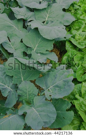 A spring garden of broccoli and lettuce - stock photo