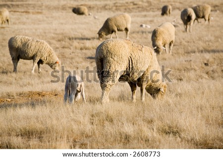 A spring lamb walks among the other grazing sheep