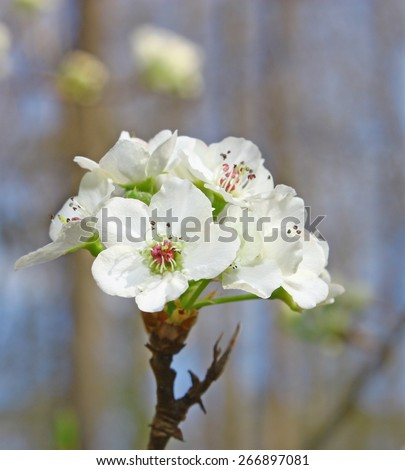 A spring ornamental pear tree blossom blooming on a branch of the tree using a selective focus and a shallow depth of field. - stock photo