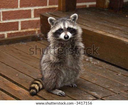 A spring raccoon that lives in an Ohio suburb - looks like he's begging or clapping. - stock photo