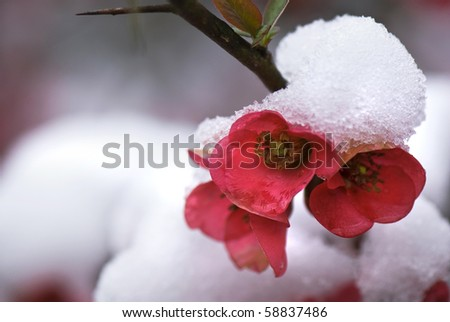 A spring snow covers japonica (Chaenomeles japonica) with a glistening coating of snow. - stock photo