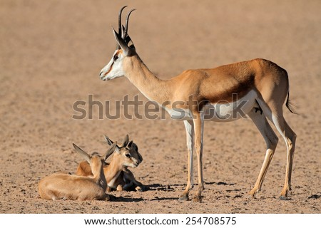 A springbok antelope (Antidorcas marsupialis) with small lambs, Kalahari desert, South Africa