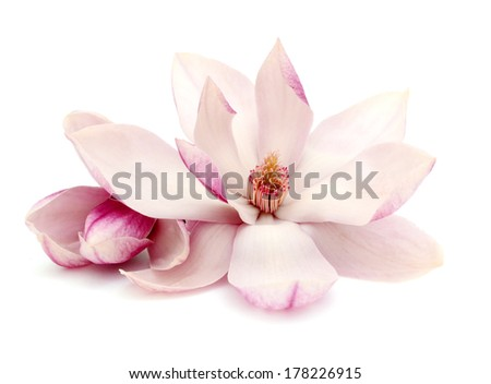 A springtime of magnolia flowers  - stock photo